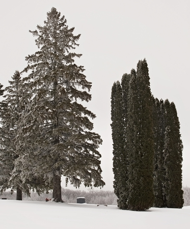 evergreens: Cemetery in winter, with hoarfrost clinging to branches of the evergreens.