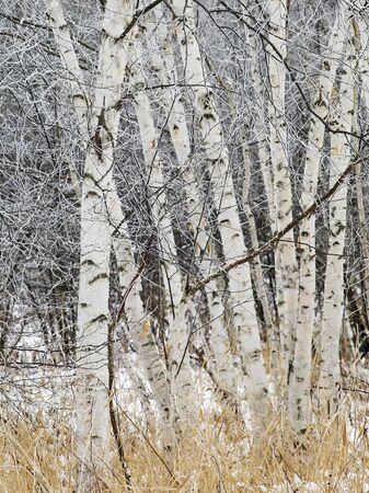 Group of birch trees covered in winters hoarfrost. Winter in Wisconsin.