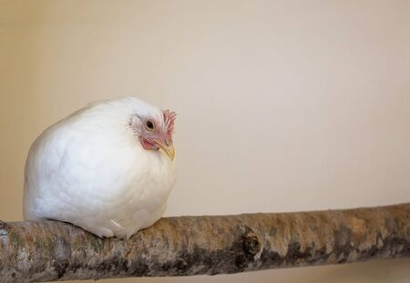 pullet: Young, white leghorn pullet hen chicken, roosts on a natural branch perch.