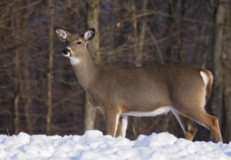 venado cola blanca: Imagen de perfil de una alerta, cola blanca gama de los ciervos, de pie en la nieve profunda. Invierno en Wisconsin.