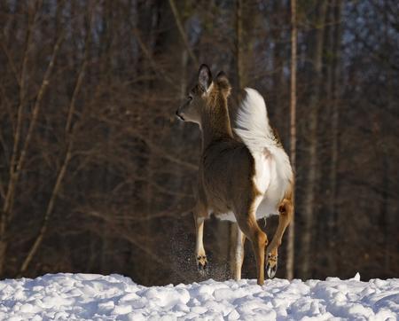venado cola blanca: Joven, de un año de cola blanca cierva se coloca alerta en el borde de los bosques, en la nieve. Invierno en Wisconsin. Foto de archivo