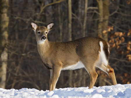 white tailed deer: Profile image of an alert, whitetail deer doe, standing in deep snow. Winter in Wisconsin.