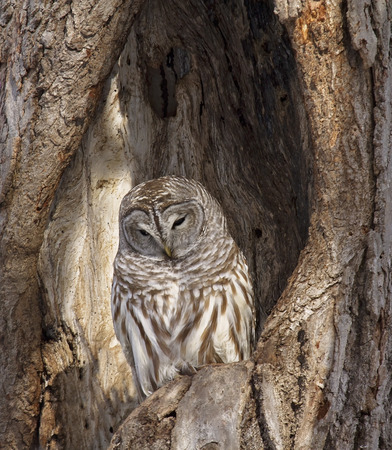 cavity: A barred owl roosts, camouflaged within a cavity of an oak tree. Winter in Wisconsin Stock Photo