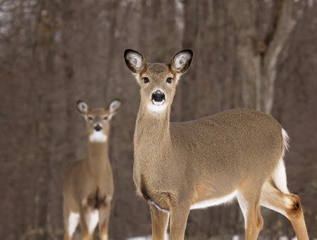 필드의 얕은 깊이 경고 흰 꼬리 사슴의 이미지 않습니다. 스톡 콘텐츠