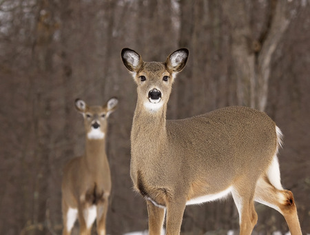 tails: Shallow depth of field image of alert white tail deer does. Stock Photo