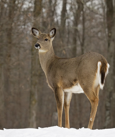 white tail deer: close up image of a white-tailed deer doe standing alert at the edge of the forest. Winter in Wisconsin. Stock Photo