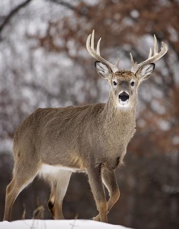 눈을 통해 걷는 큰 whitetail 사슴 벅. 위스콘신의 겨울