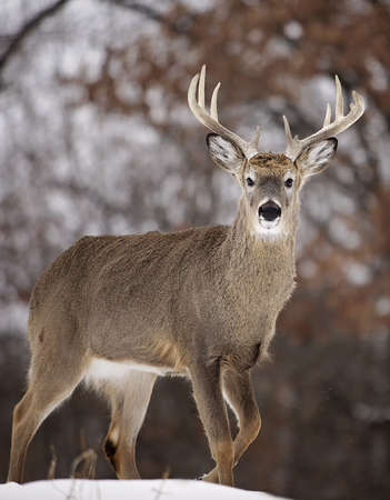 Large whitetail deer buck, walking through snow. Winter in Wisconsin Stock Photo