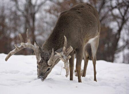 venado cola blanca: pelota de venado cola blanca, el enraizamiento de las hierbas en medio de un pintoresco paisaje de invierno Foto de archivo