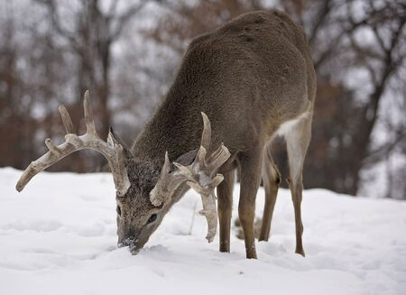 rooting: white-tailed deer buck, rooting for grasses amongst a scenic winter landscape