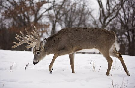 venado cola blanca: profile of a white-tailed deer buck, amongst a scenic winter landscape