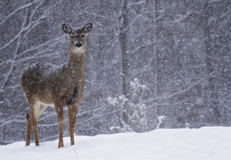 Whitetail deer stand alert at forest edge, during snowstorm. Winter in Wisconsin.