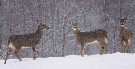 deer stand: Whitetail deer stand alert at forest edge, during snowstorm. Winter in Wisconsin.
