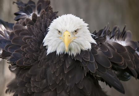 rousing: Close up image of an adult bald eagle, rousing its feathers.