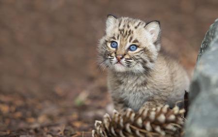lince rojo: , Gatito lince joven, mirando hacia arriba. Poca profundidad de campo.