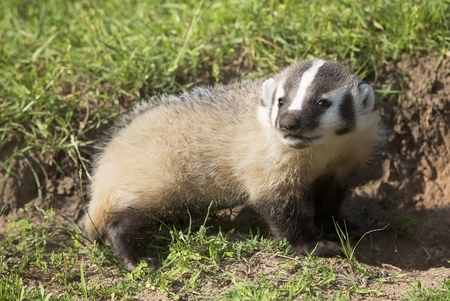 omnivore: Young, baby American Badger profile, with shallow depth of field.