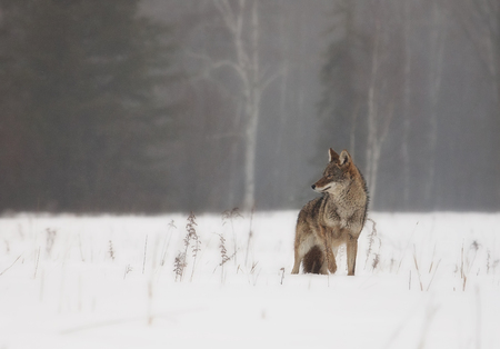 mournful: Coyote in snowy field in springtime.  Rain and snow make for a mournful scene.  Soft focus.
