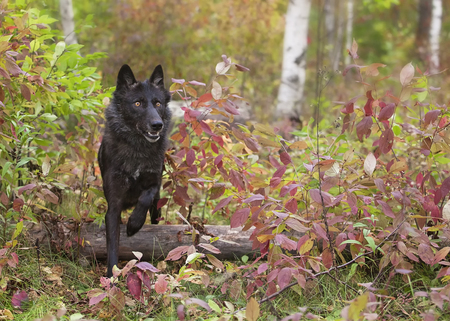 wolf eyes: Gray wolf, black phase, runs through fall foliage.  Autumn in the Midwest