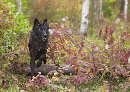 ojos negros: lobo gris, negro fase, corre a través de follaje de otoño. Otoño en el Medio Oeste