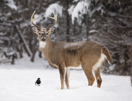 Alert, white-tailed deer buck and Magpie, amongst a scenic winter landscape. Stok Fotoğraf