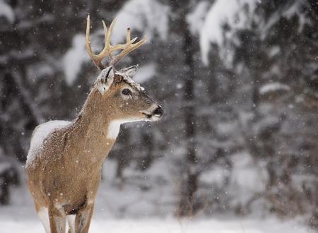 white tailed: Alert, white-tailed deer buck amongst a scenic winter landscape