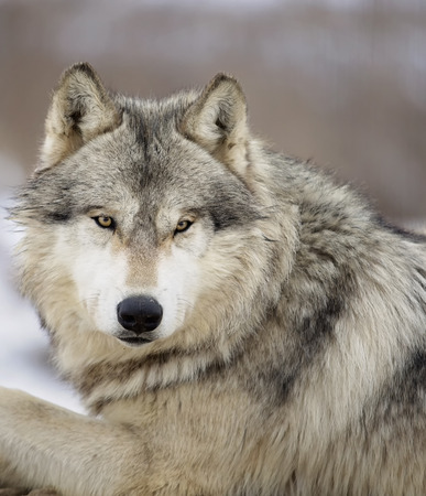 canis: Close up head and shoulders image of a gray wolf, or timber wolf.  Shallow depth of field