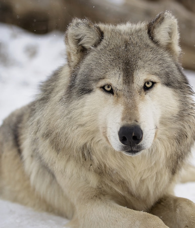 a close up: Close up head and shoulders image of a gray wolf, or timber wolf.  Shallow depth of field
