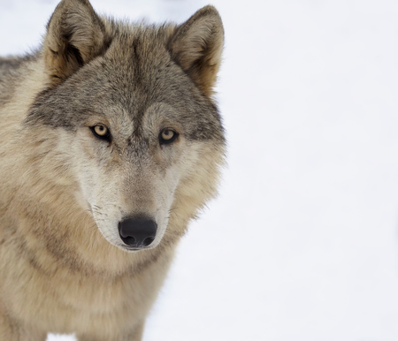 Close up head and shoulders image of a gray wolf, or timber wolf.  Shallow depth of field