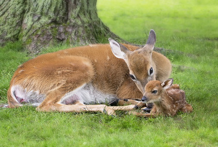 mother and baby deer: White-tailed doe cleans off her newborn fawn. Placenta emerging from doe. Springtime in Wisconsin. Stock Photo