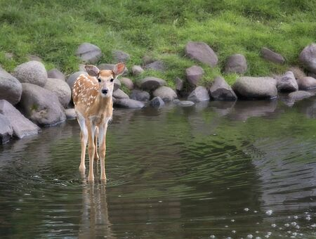 Young white-tailed fawn stands in pond. Springtime in Wisconsin.