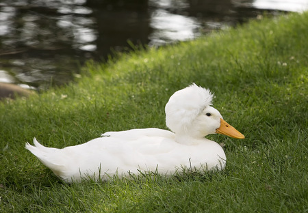 male animal: Crescent duck rests in grass next to pond. Summer in Wisconsin Stock Photo