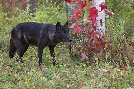 autumn wolf: Gray wolf, black phase, in autumn foliage.