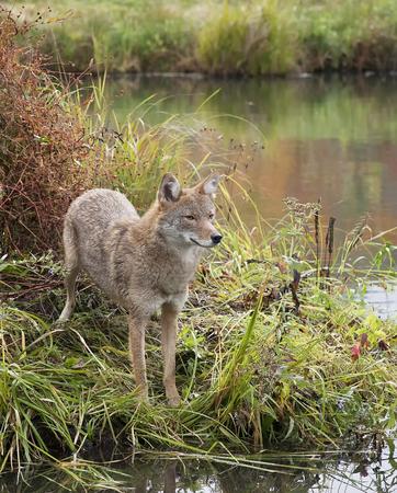 waters  edge: Coyote at waters edge Stock Photo