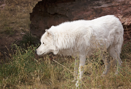 autumn wolf: Grey wolf, moving cautiously.  Autumn in South Dakota. Stock Photo