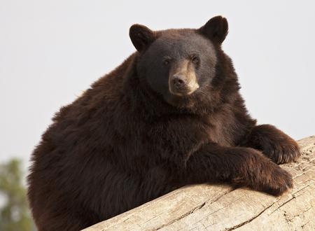 oso negro: América Oso Negro, marrón fase, apoyado en un tronco caído