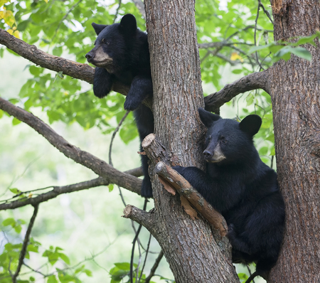 American black bear cubs in a tree, watching the activity below. Late summer in Minnesota.