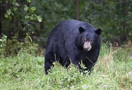 oso negro: Cerrar una imagen de un adulto oso negro americano en una pradera cubierta de hierba, a finales del verano, en Orr, Minnesota. Foto de archivo