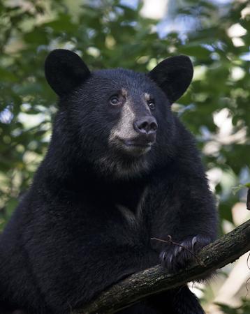 나무에 젊은 미국의 검은 곰의 머리와 어깨 이미지를 닫습니다. 늦은 여름 미네소타 주 오르 (Orr)에서.