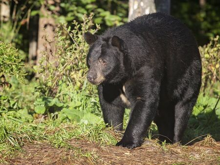 omnivore animal: Close up image of an American black bear in late summer. Orr, Minnesota.