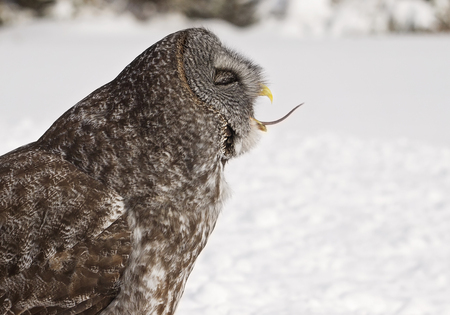 bird eating raptors: Close up profile image of a Great Grey Owl devouring its prey whole.  Winter in Manitoba.