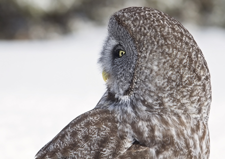 manitoba: Close up, head and shoulders profile image of a Great Gray Owl.  Provincial bird of Manitoba, Canada.