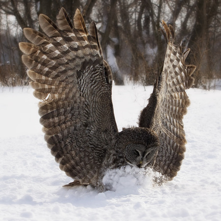 wing span: Backlit, square image of a Great Grey Owl in flight, catching prey in the snow.  Winter in Manitoba.
