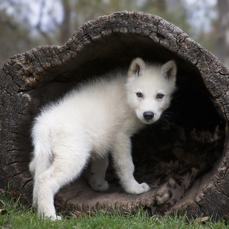 square image: Young, grey wolf pup climbing into a hollowed log, then, looking over its shoulder. Square image.