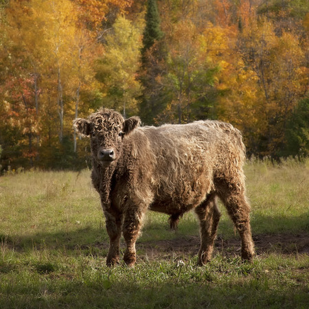 square image: Square image of Galloway cattle steer on a beautiful autumn day.