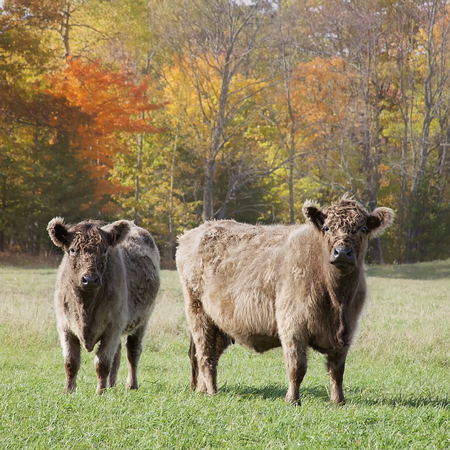 steers: Square image of a Galloway cow and calf out grazing on a beautiful autumn day. Stock Photo