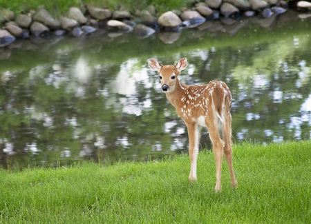 deer spot: Close up image of a white-tailed deer fawn, near a pond, looking over its shoulder.  Soft focus.