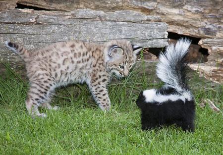 lince rojo: Un par cautivos se encuentran cara a cara poco probable. Un gatito joven lince y una mofeta rayada. Foto de archivo