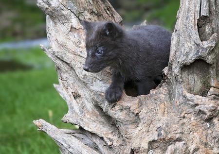arctic fox: An Arctic Fox kit climbs on an old tree trunk root.