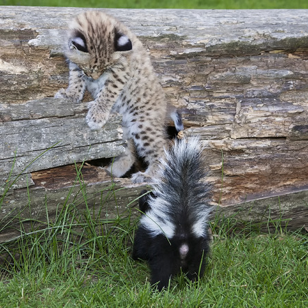 treed: A baby striped skunk trees a young bobcat kitten.  An unlikely pair.  Animal safety monitored in these captive animals.
