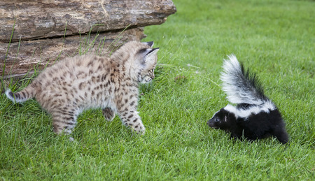 bobcat: An unlikely pair meeting face to face.  A young bobcat kitten and a baby striped skunk.